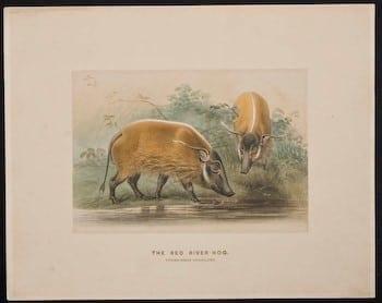 Joseph Wolf, red river hog, wild boar, animal art, business art